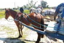Comupa realiza duas blitze de combate a maus-tratos em cavalos