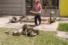 Prefeitura atende demandas de podas e supressões de árvores no Areal, Fragata e Porto