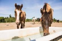 Adoção de Cavalos: na 5ª edição do projeto 13 animais ganham um novo lar