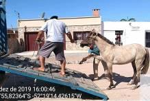 Última blitz do Comupa em 2019 recolhe animais em situação de risco