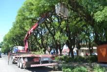 Intervenções em árvores valorizam avenida Saldanha Marinho