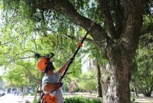 Prefeitura combate parasita de árvores da praça Coronel Pedro Osório